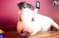 Pig Raised By Cats Thinks He's One Of Them Now
