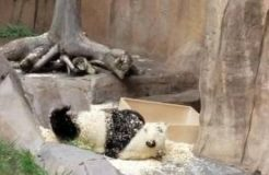 Most adorable, cute, funny panda bear video at San Diego Zoo 2016
