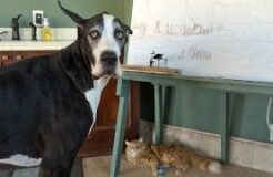 Great Dane Complains About Being Unable to Play With Cat's Toy