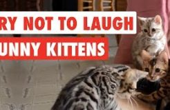 Try Not To Laugh Funny Kittens Video Compilation 2017